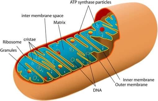 Animal mitochondrion diagram